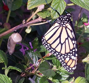 Newly emerged monarch (after her wings have unfolded)