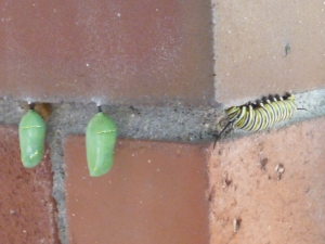 Two are snugged up and forming into Monarch butterflies, and one has just arrived to do the same.